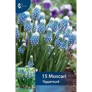 Muscari Peppermint