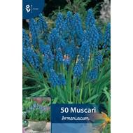 Muscari Armeniacum (Traubenhyazinthen)