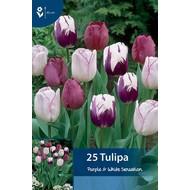 Tulpen Purple & White Sensation