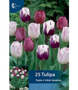 Tulip Purple & White Sensation