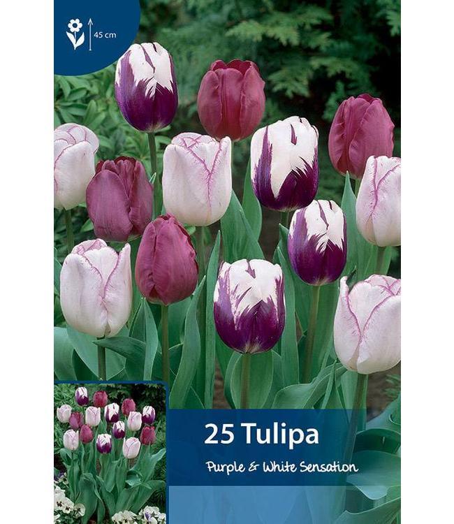 Tulip Purple & White Sensation