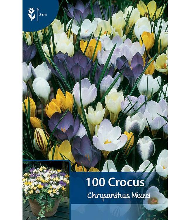 Crocus Mixed Chrysanthus