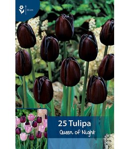 Tulpen Queen of Night