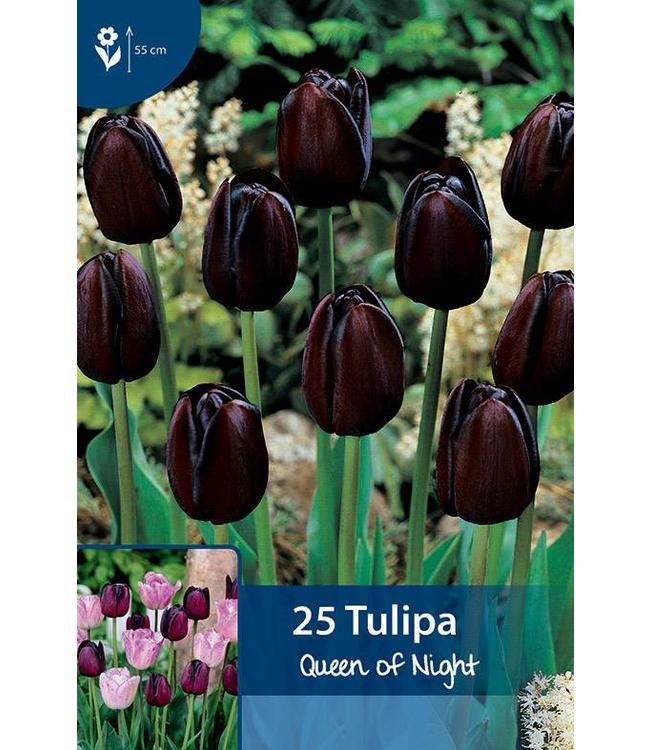 Tulpen Queen of Night