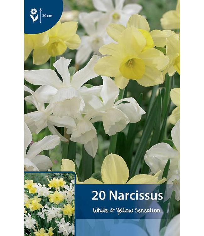Narcissus White & Yellow Sensation