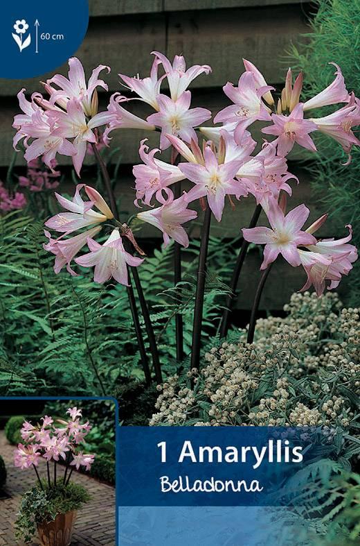 amaryllis belladonna bulbs4you. Black Bedroom Furniture Sets. Home Design Ideas