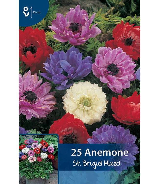 Anemone St. Brigid Mixed