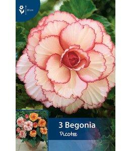 Begonia Picotee Rot/Weiß