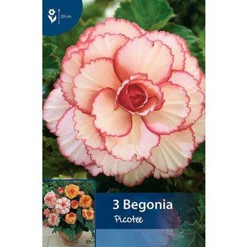 Begonia Picotee Red/White
