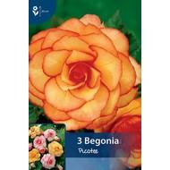 Begonia Picotee Rood/Geel