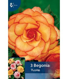 Begonia Picotee Red/Yellow