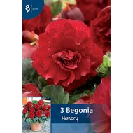 Begonia Dubbel Rood