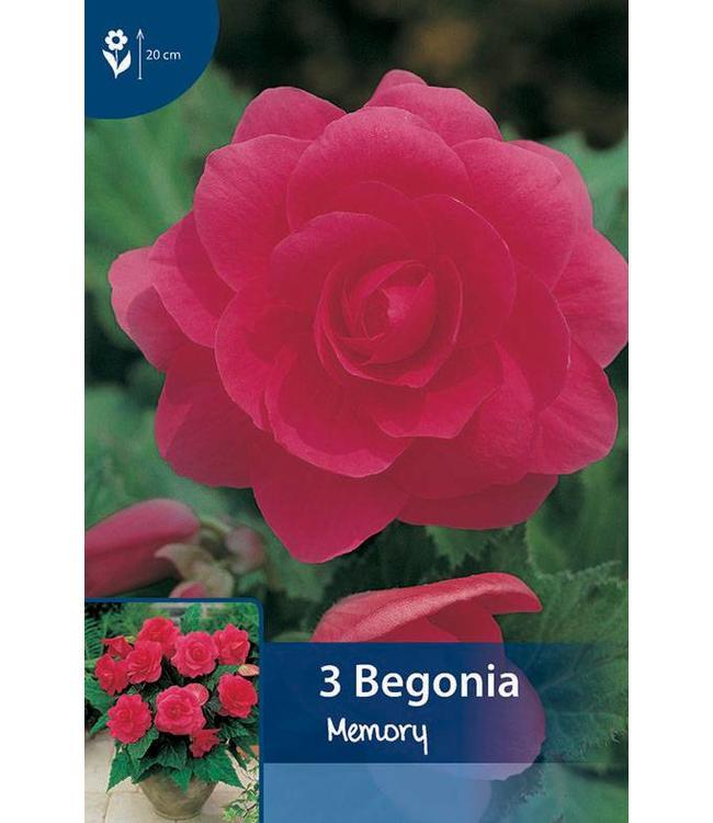 Begonia Gefüllte Rosa