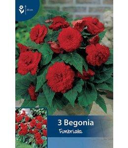Begonia Fimbriata Rot