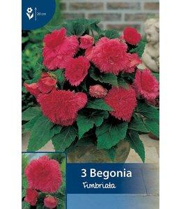 Begonia Fimbriata Roze
