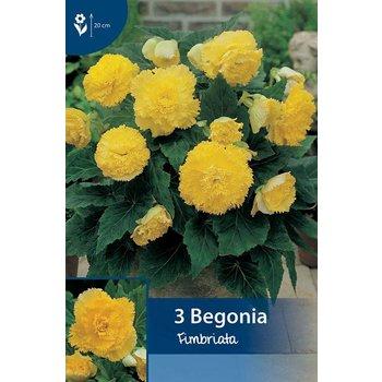 Begonia Fimbriata Yellow