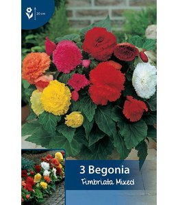 Begonia Fimbriata Mischung