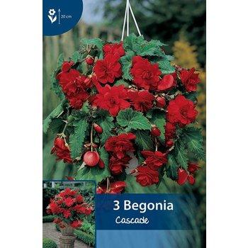 Begonia Cascade Rot