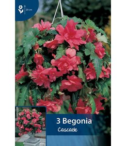 Begonia Cascade Roze