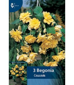 Begonia Cascade Geel