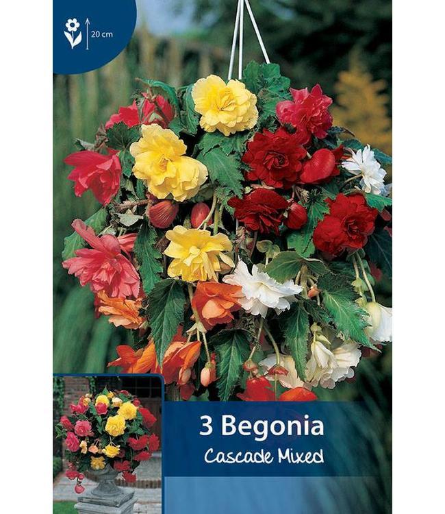 Begonia Cascade Gemengd
