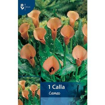 Calla Cameo (Zantedeschia)