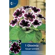 Gloxinia Kaiser Wilhelm (Sinningia)