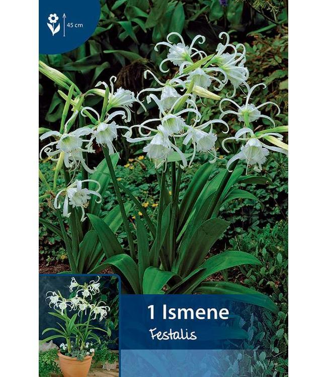 Ismene Festalis (Hymenocallis)