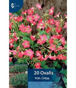 Oxalis Iron Cross (Geluksklavertje)