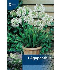 Agapanthus Weiß