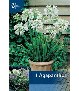 Agapanthus Wit