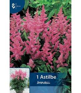 Astilbe Rosa