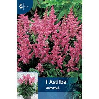 Astilbe Pink