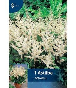 Astilbe White