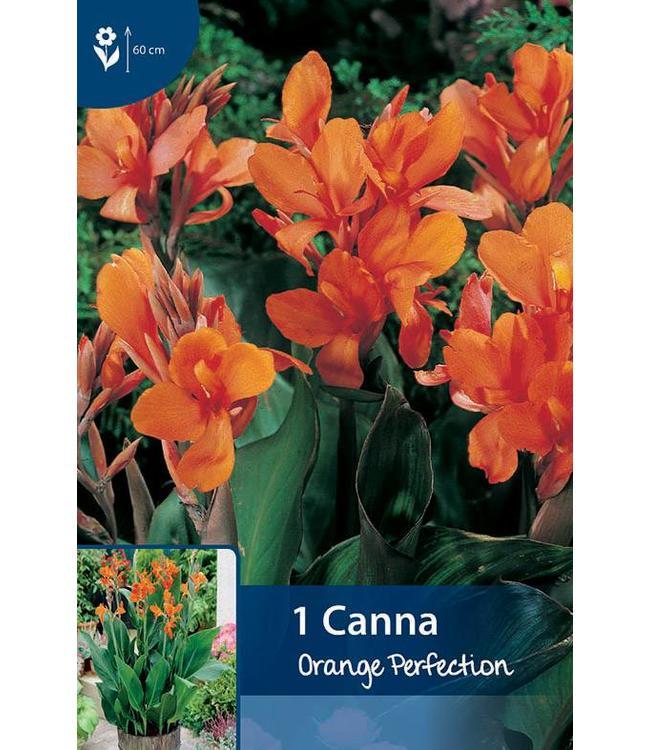 Canna Orange Perfection