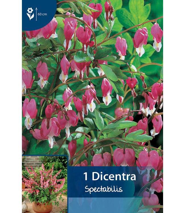 Dicentra spectabilis Pink (bleeding heart)