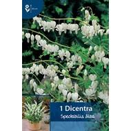 Dicentra Spectabilis Alba (wit gebroken hartje)