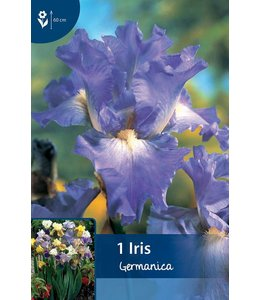 Iris Germanica Blau