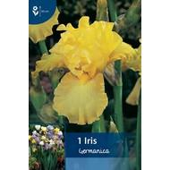 Iris Germanica Geel