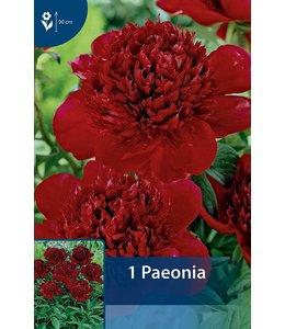 Paeonia Rood (Pioenroos)
