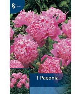 Paeonia Roze (Pioenroos)