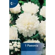 Paeonia Wit (Pioenroos)