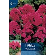 Phlox Paniculata Rood