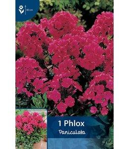 Phlox Paniculata Red