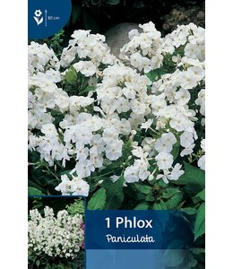 Phlox Paniculata Wit