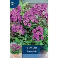 Phlox Paniculata Purper