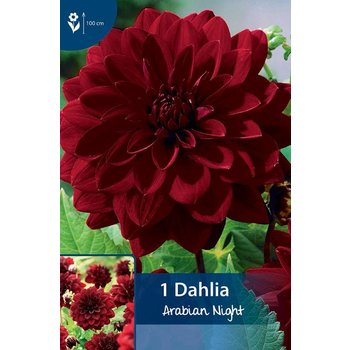 Dahlia Arabian Night