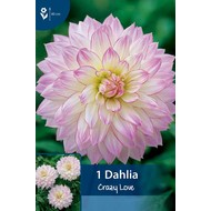 Dahlia Crazy Love