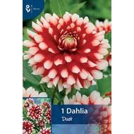 Dahlia Duet