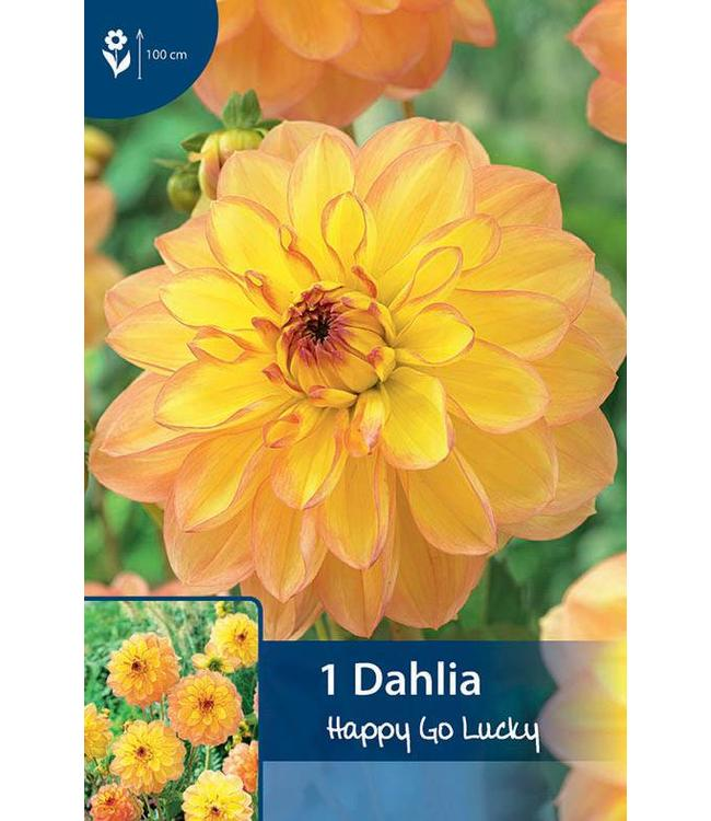 Dahlia Happy Go Lucky